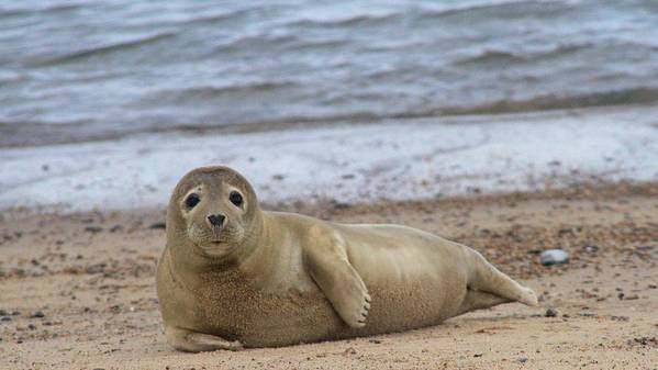 Seal Poster featuring the photograph Young Seal Pup On Beach - Horsey, Norfolk, Uk by Gordon Auld