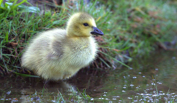 Gosling Poster featuring the photograph Baby Canada Goose by Rob Andrus