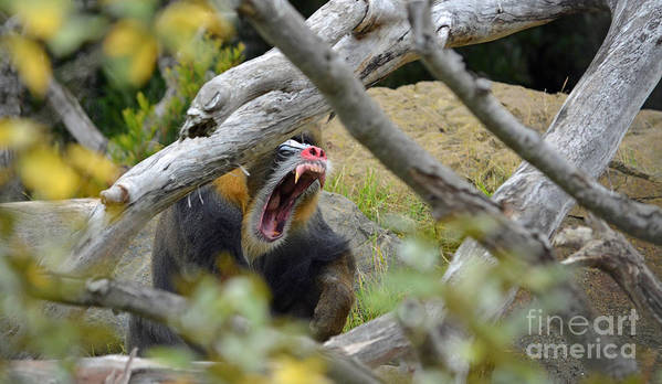 Mandrill Poster featuring the photograph A Yawning Mandrill by Jim Fitzpatrick