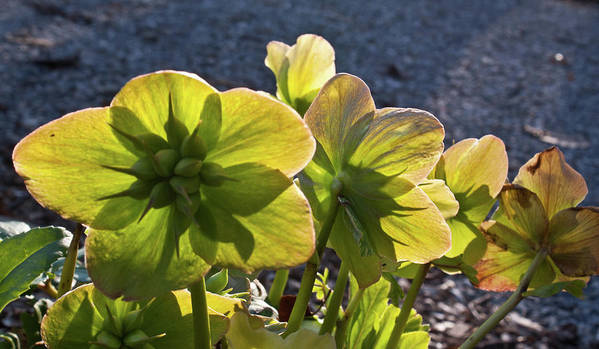 Heleborus Poster featuring the photograph Helleborus Backlight Blossoms 2 by Douglas Barnett