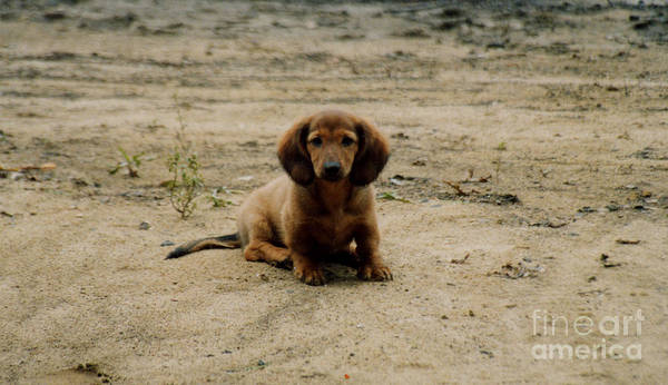 Puppy Poster featuring the photograph Puppy On The Beach by Nancie Johnson