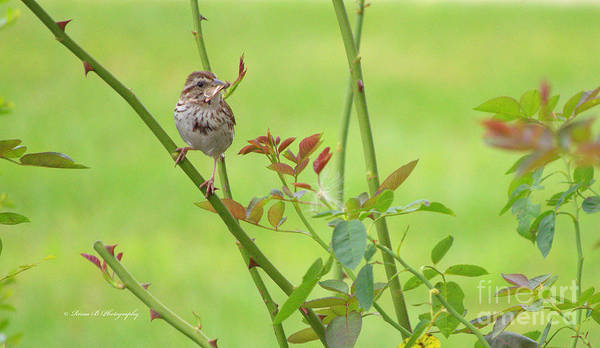 Bird Poster featuring the photograph Song Sparrow by Rima Biswas