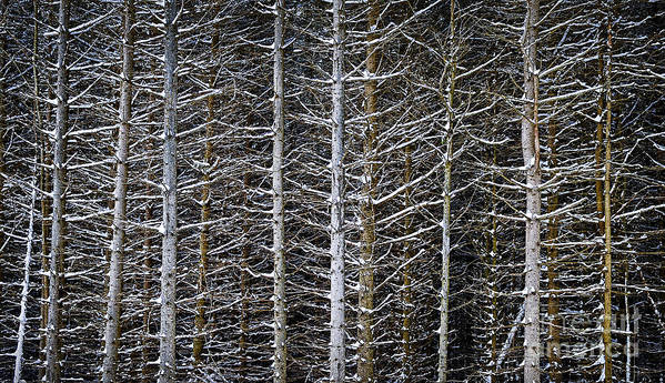 Winter Poster featuring the photograph Tree Trunks In Winter by Elena Elisseeva