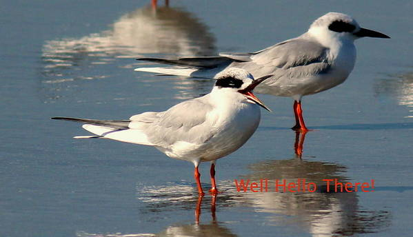 Terns Poster featuring the photograph Well Hello There by Rosanne Jordan