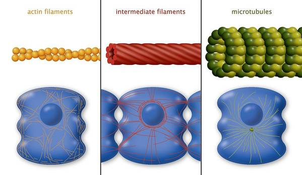 Protein Poster featuring the photograph Cytoskeleton Components, Diagram by Art For Science