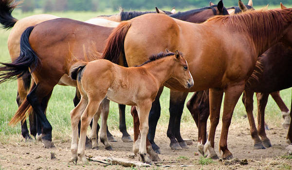 Horses Poster featuring the photograph Just A Babe by Lisa Moore