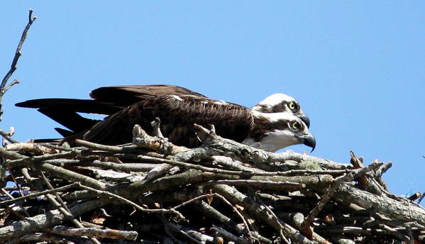 Osprey Poster featuring the photograph Osprey Pair by Annie Babineau