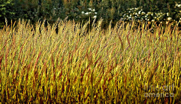 Grass Poster featuring the photograph Golden Grasses by Meirion Matthias
