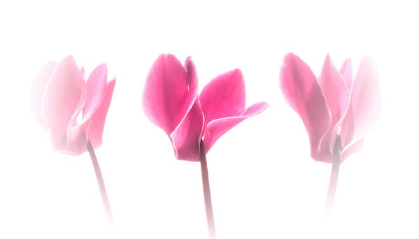 Cyclamen Poster featuring the photograph Pink Cyclamen Trio by Susan Westervelt