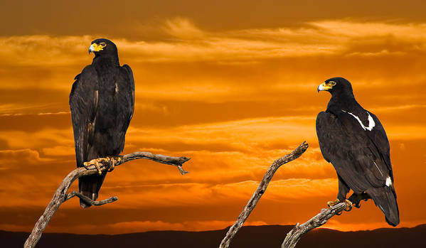 Birds Canvas Prints Poster featuring the photograph Royal Flush - African Black Eagles by Basie Van Zyl