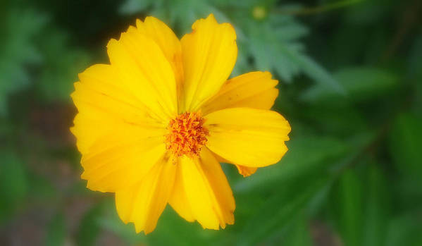 Flowers Poster featuring the photograph Summer Coreopsis by Janet Telander