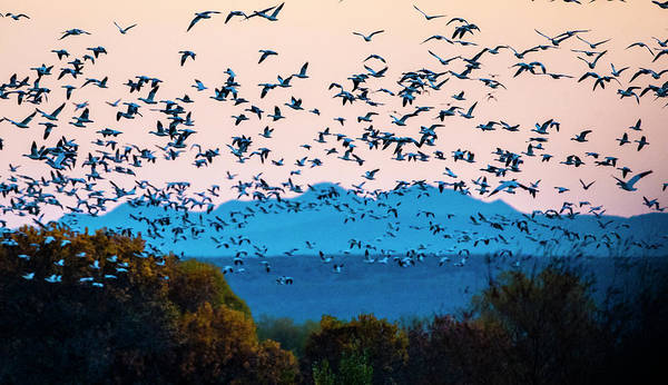 Photography Poster featuring the photograph Herd Of Snow Geese In Flight, Soccoro by Panoramic Images