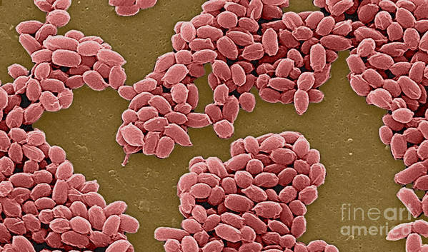 Science Poster featuring the photograph Anthrax Bacteria Sem by Science Source