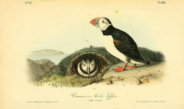 Audubon Poster featuring the painting Arctic Puffin by Philip Ralley