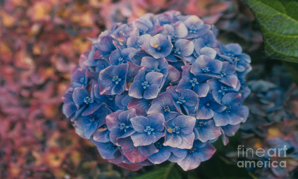 Hydrangea Poster featuring the photograph Blue Hydrangea by Heather Kirk