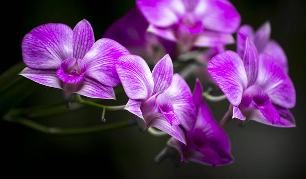 Flowers Poster featuring the photograph Fushia Orchid by Penny Lisowski