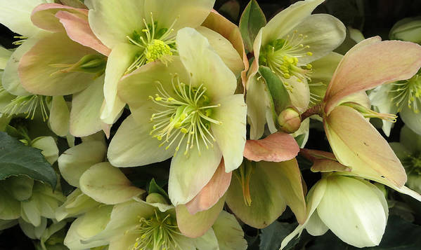 Lenten Poster featuring the photograph Hellebores by Patricia Januszkiewicz