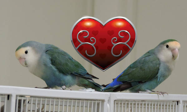 Bird Poster featuring the photograph Lovebird Valentine by Stephanie Kendall