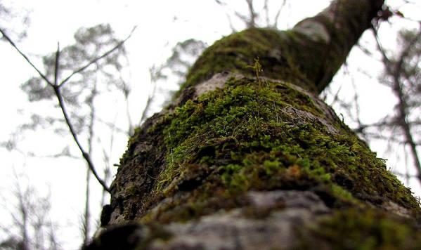 Tree Poster featuring the photograph Moss by Sarah Houser