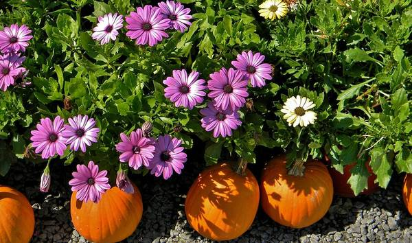 Purple Daisies Poster featuring the photograph Purple Daisies And A Touch Of Orange by Jean Goodwin Brooks