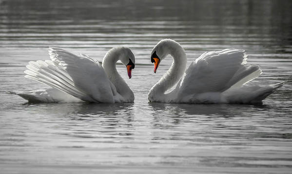 Poster featuring the photograph Mute Swans by Brian Stevens