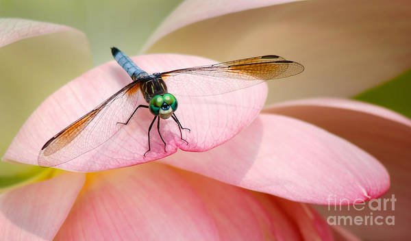 Dragonfly Poster featuring the photograph Blue Dasher On A Pink Lotus by Susan Isakson