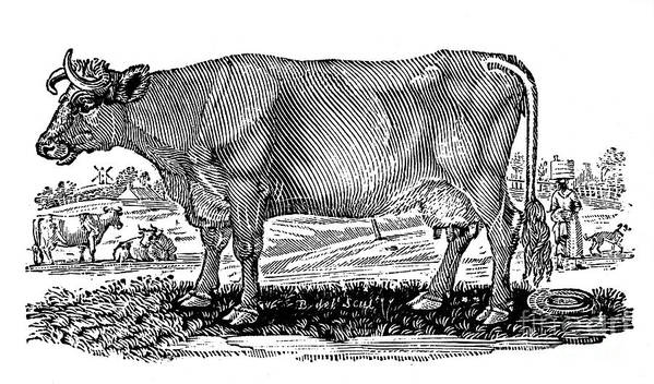 1790 Poster featuring the photograph Cattle by Granger