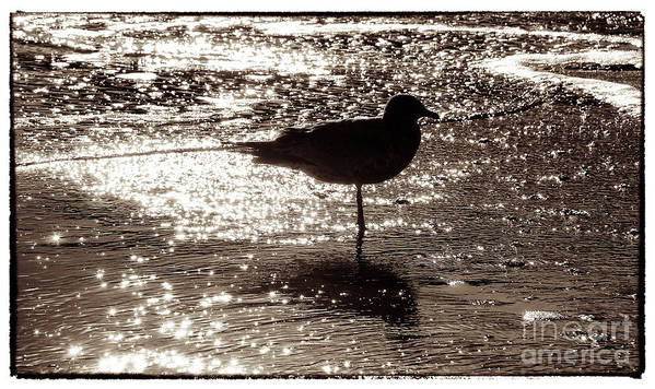 Beach Poster featuring the photograph Gull In Silver Tidal Pool by Jim Moore