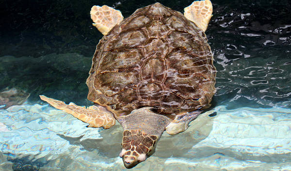 Turtle Poster featuring the photograph Loggerhead Sea Turtle by Elizabeth Hart