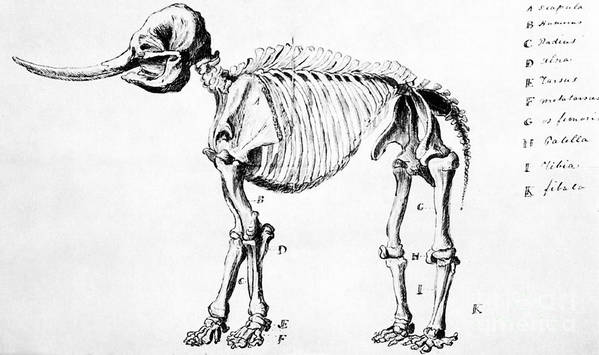 Extinct Poster featuring the photograph Mastodon Skeleton Drawing by Science Source