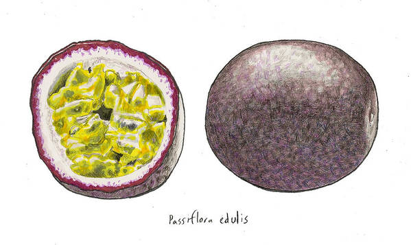 Passionfruit Poster featuring the drawing Passiflora Edulis Fruit by Steve Asbell