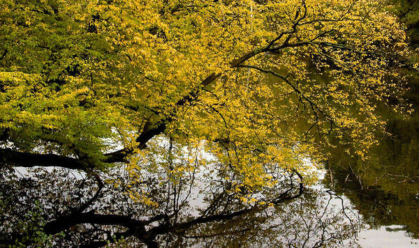 Tree Poster featuring the photograph Reflecting Autumn Tree by David Resnikoff