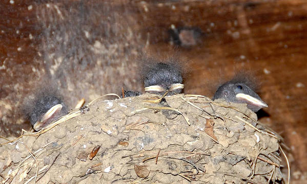 Birds Poster featuring the photograph Sleeping Barn Swallows by David Lee Thompson