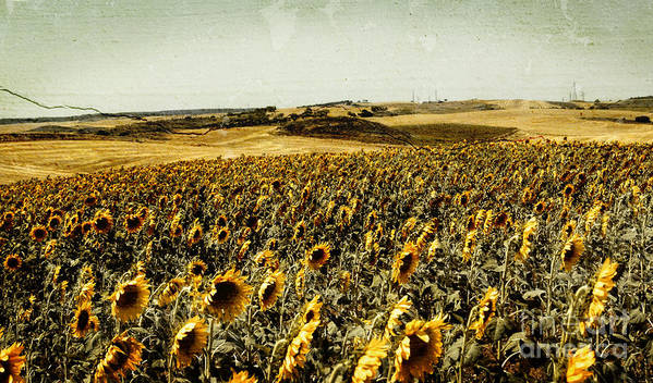 Sunflowers Field Poster featuring the photograph Sunflowers Field by Anja Freak