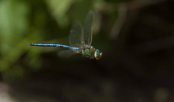 Dragon Fly Poster featuring the photograph Water Chaser by Focus Fotos