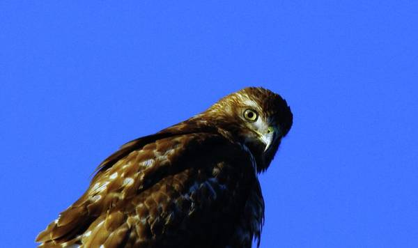 Hawks Poster featuring the photograph A Hawk Looking Back by Jeff Swan