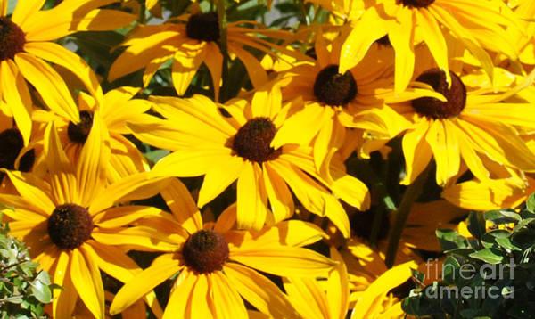 Flowers Poster featuring the photograph Black-eyed Susan by Pam Schmitt