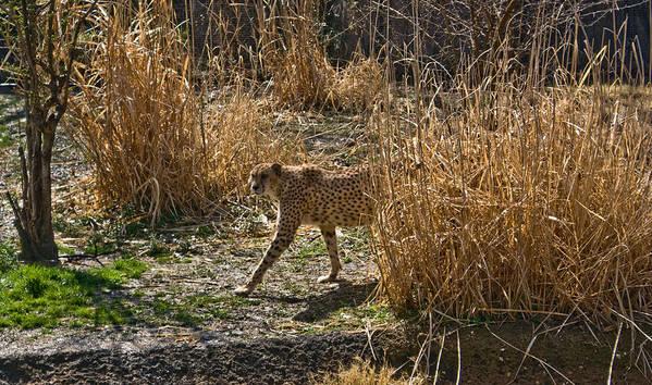 Cheetah Poster featuring the photograph Cheetah In The Brush by Douglas Barnett