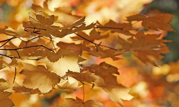 Leaf Poster featuring the photograph Golden Light Autumn Maple Leaves by Jennie Marie Schell