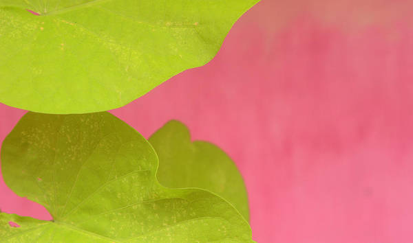Color. Abstract Poster featuring the photograph Green On Pink 1 by Art Ferrier