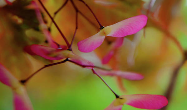 Fern Poster featuring the photograph Japanese Maple Seedlings by Brenda Jacobs