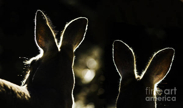 Kangaroo Poster featuring the photograph Kangaroos Backlit by Sheila Smart Fine Art Photography