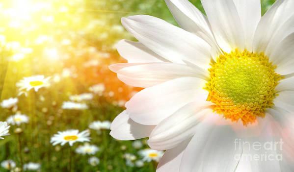 Aroma Poster featuring the photograph Large Daisy In A Sunlit Field Of Flowers by Sandra Cunningham