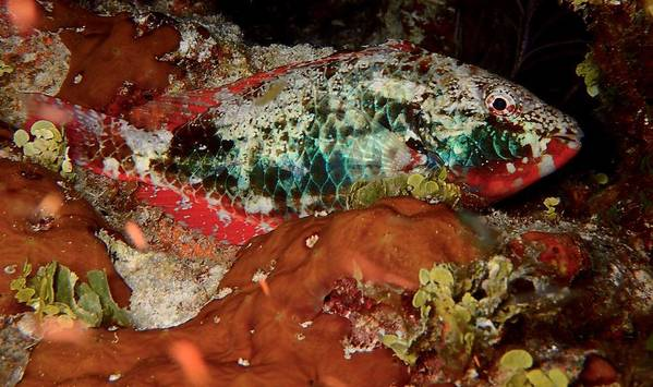 Macro Of Parrot Fish Tucked In For The Night Poster featuring the photograph Parrot Fish On Night Dive by Nina Banks