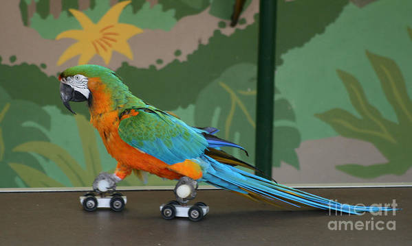 Parrot Poster featuring the photograph Parrot On Skates by Ruth Hallam
