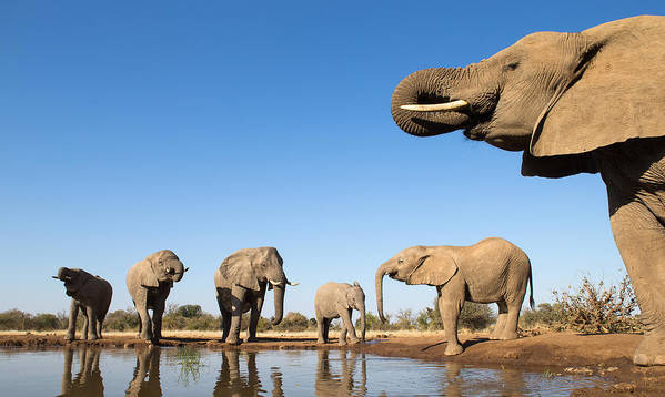 African Elephant Poster featuring the photograph Thirsty Elephants by Max Waugh