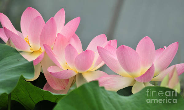 Water Poster featuring the photograph water lily 57 Pink Lotus by Terri Winkler