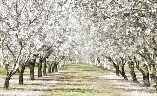 Almonds Poster featuring the photograph Almond Orchard by Kathleen Gauthier
