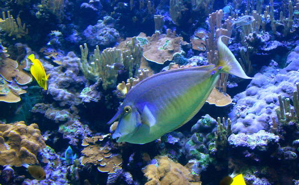 Coral Reef Poster featuring the photograph Bluespine Unicornfish by Karon Melillo DeVega