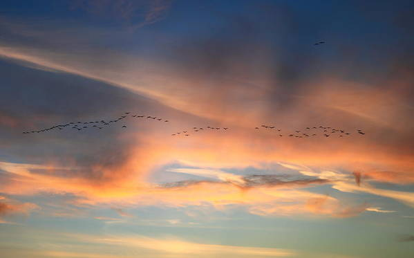 Sunset Poster featuring the photograph Canada Goose Flock Sunset by John Burk
